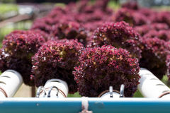Agricoltura idroponica dell'insalata Fotografie Stock