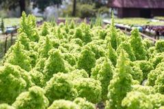 Agricoltura idroponica dell'insalata Fotografie Stock Libere da Diritti