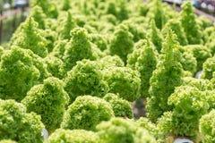 Agricoltura idroponica dell'insalata Immagini Stock