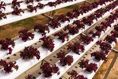 Agricoltura idroponica della piantagione Fotografie Stock