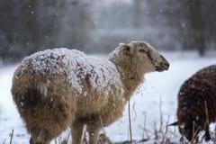 Agricoltura - il bestiame nell'inverno nevica Fotografia Stock Libera da Diritti