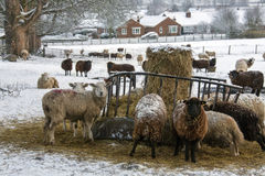 Agricoltura - il bestiame nell'inverno nevica Immagine Stock Libera da Diritti