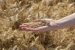 Agricoltura, il raccolto del grano Fotografia Stock