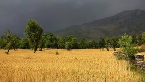 Agricoltura indiana organica del raccolto dorato del grano in Himalaya a distanza Immagini Stock