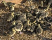 Agricoltura industriale del pollame, anatroccoli in azienda agricola Fotografie Stock Libere da Diritti