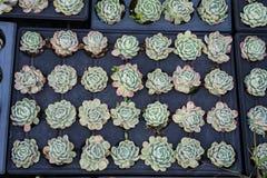 Agricoltura industriale di coltivazione delle piante del fiore dentro la serra Fotografia Stock