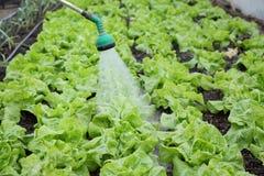 Agricoltura, innaffiatura della lattuga Immagini Stock