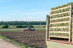 Agricoltura - insalata della semina del trattore Fotografia Stock