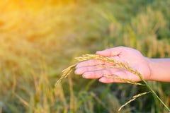 Agricoltura, mano del primo piano che tocca tenero un giovane riso Immagini Stock Libere da Diritti