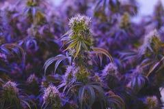 Agricoltura medicinale della marijuana per industria alternativa di sanità Immagini Stock Libere da Diritti