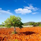 Agricoltura mediterranea di Ibiza con l'albero di fico Fotografie Stock