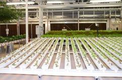 Agricoltura moderna crescente delle verdure del tubo Immagini Stock