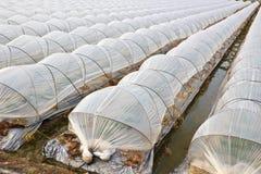 Agricoltura moderna del frutteto di frutta della Taiwan Fotografie Stock