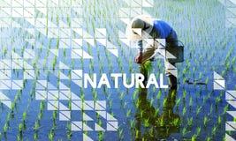Agricoltura naturale che pianta concetto rurale dei raccolti Fotografia Stock