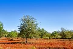 Agricoltura negli alberi mediterranei dell'isola di Ibiza Fotografia Stock