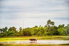 Agricoltura nei bufali d'acqua della Cambogia in una risaia fuori di Angkor Wat, Siem Reap, Cambogia 3 settembre 2015 Fotografia Stock