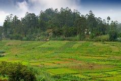 Agricoltura nei tropici Immagini Stock Libere da Diritti