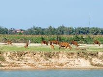 Agricoltura nel delta del Mekong nel Vietnam, mucche in un campo: [Delta del fiume non solo in noto in per la sua agricoltura, Immagine Stock