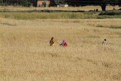 Agricoltura nel Nepal Fotografia Stock Libera da Diritti