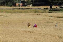 Agricoltura nel Nepal Immagini Stock