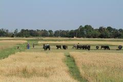 Agricoltura nel Nepal Fotografie Stock
