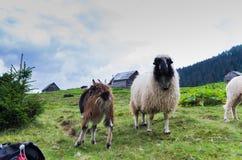 Agricoltura nelle montagne Bestiame di allevamento Immagine Stock Libera da Diritti