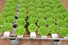Agricoltura organica del cavolo Fotografia Stock Libera da Diritti
