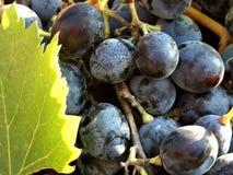 Agricoltura organica del vino dell'uva rossa Fotografia Stock Libera da Diritti