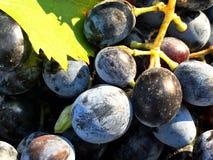 Agricoltura organica del vino dell'uva rossa Immagine Stock