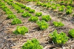 Agricoltura - orto verde della lattuga di foglia Fotografie Stock