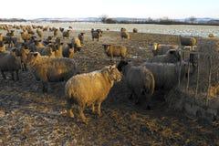 Agricoltura - pecore che si alimentano in inverno - dell'Inghilterra Fotografia Stock