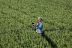 Agricoltura, pianta d'esame del grano dell'agricoltore femminile nel campo Fotografie Stock