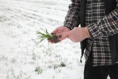 Agricoltura, pianta d'esame del grano dell'agricoltore nel campo Immagini Stock