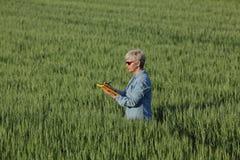 Agricoltura, pianta d'esame del grano dell'agricoltore nel campo Immagine Stock Libera da Diritti