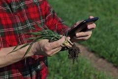 Agricoltura, pianta d'esame del grano dell'agricoltore nel campo Fotografia Stock