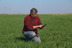 Agricoltura, pianta d'esame del grano dell'agricoltore nel campo Fotografia Stock Libera da Diritti