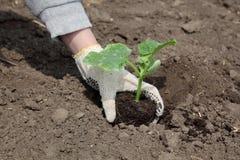 Agricoltura, pianta del cetriolo in primavera Immagine Stock
