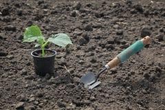 Agricoltura, pianta del cetriolo in primavera Fotografia Stock
