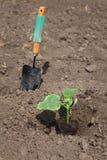 Agricoltura, pianta del cetriolo in primavera Fotografia Stock Libera da Diritti