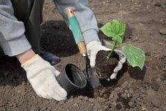 Agricoltura, pianta del cetriolo in primavera e mano dell'agricoltore Fotografia Stock Libera da Diritti