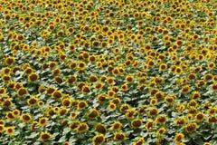 Agricoltura, pianta del girasole di estate Fotografie Stock