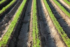 Agricoltura, pianta della carota nel campo Immagini Stock Libere da Diritti