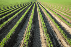 Agricoltura, pianta della carota nel campo Fotografia Stock