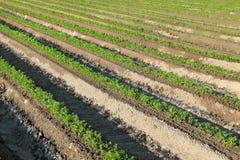 Agricoltura, pianta della carota nel campo Immagine Stock