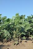Agricoltura, pianta della soia Fotografia Stock Libera da Diritti