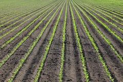 Agricoltura, pianta della soia in primavera Immagini Stock Libere da Diritti