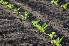 Agricoltura, pianta della soia in primavera Fotografia Stock Libera da Diritti