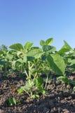 Agricoltura, pianta di soia nel campo Fotografia Stock