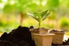 Agricoltura, pianta, seme, piantina, pianta che cresce sul vaso di carta Immagine Stock Libera da Diritti