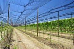 Agricoltura - piantagione della frutta del pesco Fotografia Stock